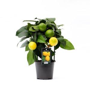 Citrus Lemon op rek (Lem Rek P12)