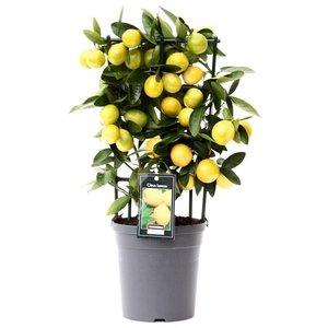 Citrus Limequat op rek (Lim P15)