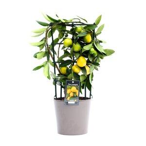 Citrus Limequat in Roma keramiek (Lime roma zw)