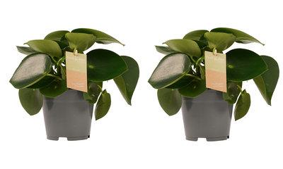 Decorum Duo Peperomia Raindrop Feel Green (640255)