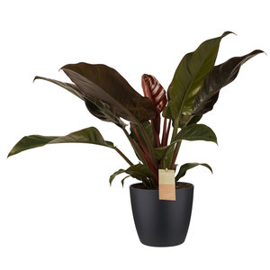 Decorum Philodendron Imperial Red - Elho brussels black (2403527)