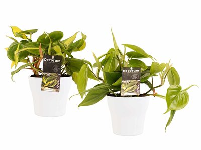 Decorum Duo Philodendron Brazil - Philodendron Scandens met potten Anna White ()