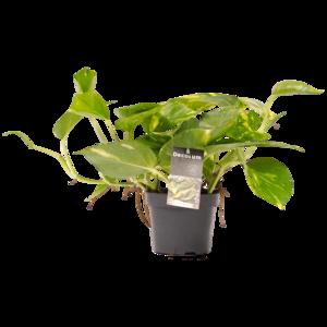 Decorum Philodendron Scandens (Decorum Philodendron Scandens)