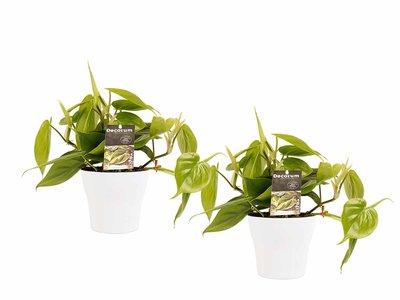 Decorum Duo Philodendron Scandens met potten Anna White ()
