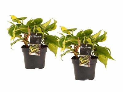 Decorum Duo Philodendron Brazil ()