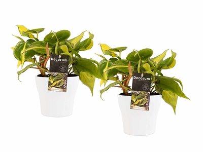De Philodendron is een opvallende kamerplant en dit komt vooral door de prachtige, stevige bladeren. ()