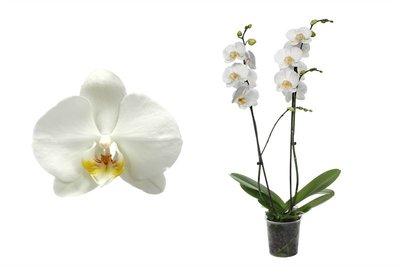 Phal Ghost Town 2T14+ (PHGA02G02A)