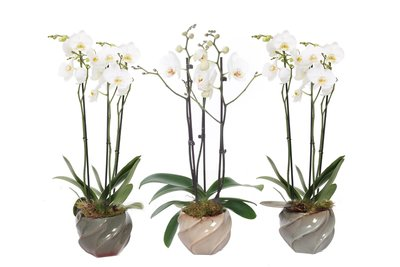 Wave Mix Phal Wit 3T18+ (TWPHAL233)