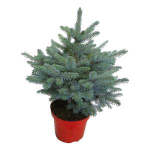 """Picea pungens """"Super Blue""""  (pipsblue28)"""
