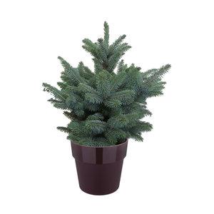 Picea Super Blue in ELHO b.for moebei paars (pipsblue28)