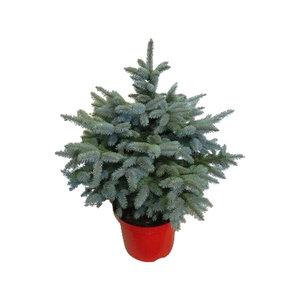 """Picea pungens """"Super Blue""""  (pipsblue30)"""
