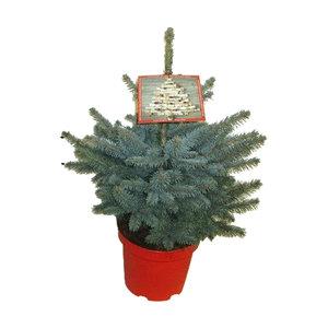 """Picea pungens """"Super Blue"""" (PISB70P26)"""