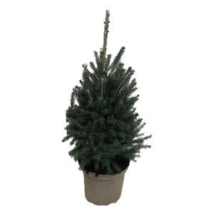 """Picea glauca """"Super Green"""" (pisgrep26)"""