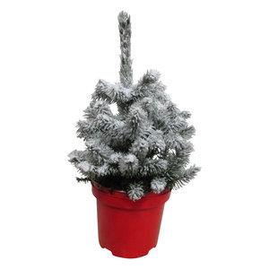 Picea sneeuw  (PisneeuwP19)