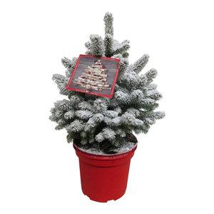 Picea Sneeuw  (PisneeuwP23)