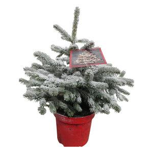 Picea sneeuw  (PisneeuwP26)