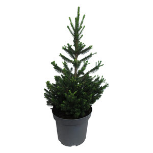 """Picea abies """"Will's Zwerg""""  (piawzP26)"""