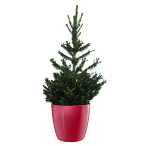 Picea Will's Zwerg in ELHO Brussels Diamond Red (piawzP26)