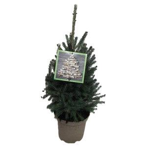 """Picea glauca """"Super Green""""   (pigsgp23)"""