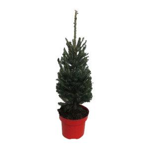 "Picea glauca ""Super Green""  (pigsgrp19)"