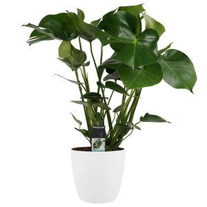 Gatenplant in witte Elho Brussels pot - 70cm  (dpmdel21)