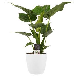 Decorum Alocasia Cucullata - Elho brussels white  (DPCuculla)