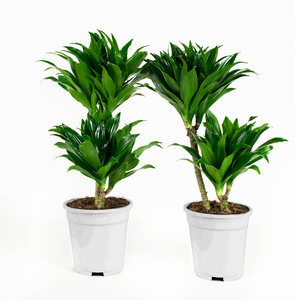 Dracaena fragans compacta (Dracaena)