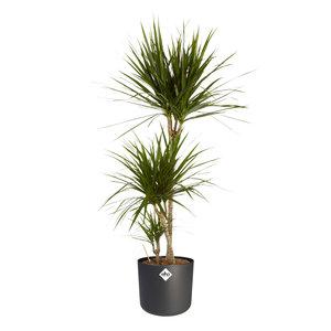 Dracaena Marginata in ® ELHO b.for soft sierpot (Dracaena Marginata)
