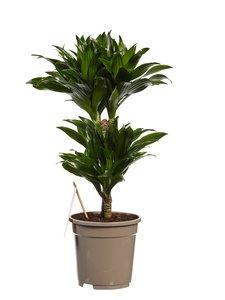 Dracaena Compacta (Dracaena deremensis Compacta)