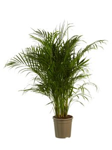Goudspalm (Dypsis lutescens)
