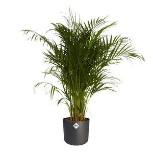 Goudpalm in ® ELHO b.for soft sierpot (Dypsis Lutescens)