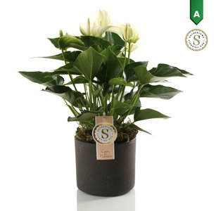 Anthurium White in Bari Keramiek Grey  ()