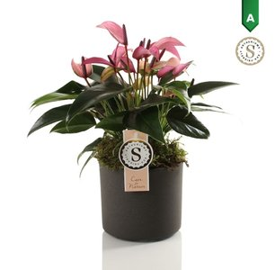Anthurium Zizou in Bari Keramiek Grey  ()