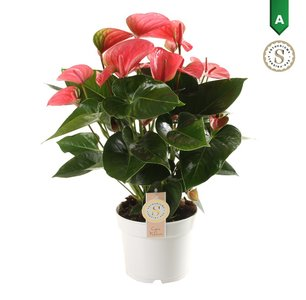 "Anthurium ""Pink Champion"" ()"
