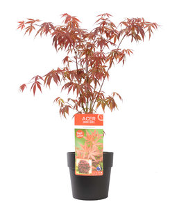 Acer 'Atropurpureum' in antraciet bloempot voor buiten (ELHO ®) (SKACER19ATROB)