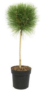 Pinus 'Summer Breeze' ® (SKPINU24SUBRS)