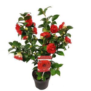 Camellia 'Black Lace' (SKCAME15BLLAP)