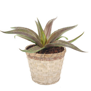 Mangave 'Redwing' ® in greywash bamboe sierpot (SKMANG15REWIB)