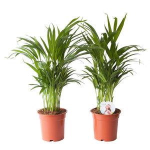 Goudpalm (Areca / Dypsis Palm) (PNLDYP17)