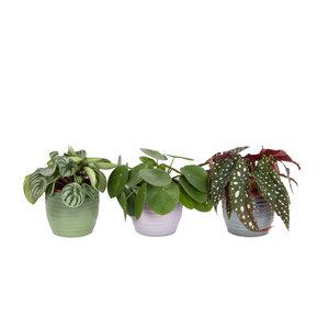 Trio Begonia maculata, Pilea peperomioides en Peperomia Argyreia (Trio Begonia maculata, Pilea peperomioides en Peperomia Argyreia)