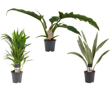 Decorum Combipakket Dypsis lutescens (areca) - Sansevieria Aubrytniana Metelicca - Narrow escape feel green  ()