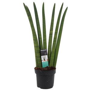 Decorum Sansevieria Cylindrica   ()