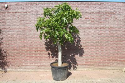 vijgenboom stamomvang 30-40cm