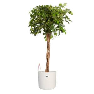 Vingersboom in ® ELHO b.for soft sierpot (Schefflera Gold Capella)