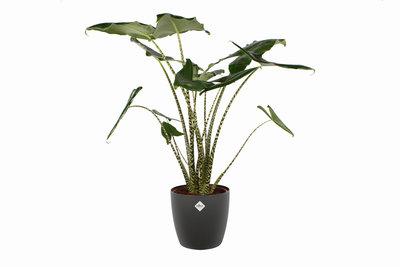 Alocasia Zebrina met Elho sierpot (Alocasia Zebrina)