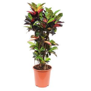 Croton 'Mrs Iceton' (Codiaeum variegatum)