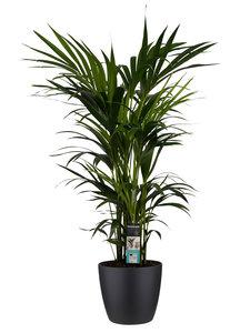 Decorum Kentia Palm - Elho brussels black ()