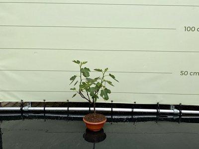 Vijgenboom - Brown Turkey 40-60cm, zoete donkerrode vijg