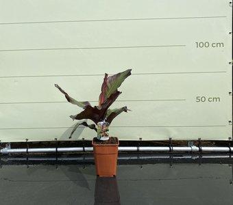 Musa Maurelli - Rode Bananenplant 90cm