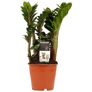 Decorum Livistona Rotendifolia (Decorum Livistona Rotendifolia)